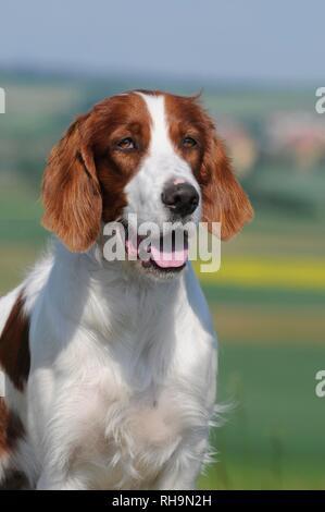 Irish Red and White Setter, animal portrait, Austria - Stock Photo