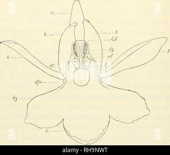 . Botanisch jaarboek. Plants; Plants -- Germany. — 318 — wijze),en in fig. 11 afgebeeld is. Dit stuifmeelklompje bestaat. FiG. 9. — Orchis ),)nculata, van voren gezien. (Naai- rJe Natuur). — /, 5, S, drie bloemdekbladen die te zamen den belm vormen. — 4, J, zijdelingsche, afstaande bloemaekbladen. —6, onderste bloemblad op lip. — sp. ingang der spoor. — st, stempeloppervlakte. — h, beursje waarin de hechtkliertjes opge- sloten zijn. — vl, middelste, vliezig aanhangsel van den voorovergebogen snavel, die h aan zijn top draagt. - sz, stuifmeelzakje. geopend. — M, bovenst gedeelte van het hèlmbin - Stock Photo