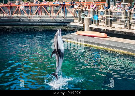 Pacific white-sided dolphin (Lagenorhynchus obliquidens) jumps out of the water at a dolphin show, Vancouver Aquarium in Stanley