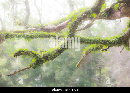 Old dead Live Oak tree with moss and Resurrection fern covered branches and limbs. - Stock Photo