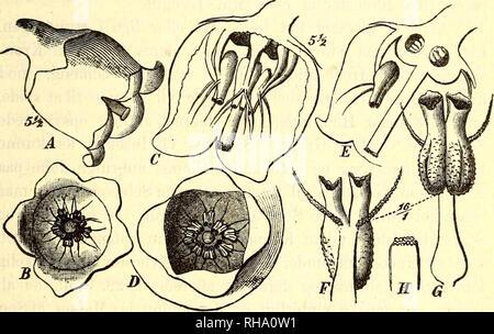 . Botanisk tidsskrift. Botany; Plants; Plants. 197 Vaccinium ntiginosum L., var. mier ophyllum Lge. Den forholder sig i vegetativ Henseende vist nok gan- ske som Hovedformen. Den har ligesom denne underjordi- ske Udløbere med skælformede Blade, som gaa jævnt over i Løvblade der, hvor Udløberne bøje sig op over Jorden. Der er fine Birødder, som udspringe i Løvbladaxlerne. Bladene falde af ved Yæxtperiodens Slutning, og Knop- perne værnes om Yinteren af Knopskæl. Bladene ere paa begge Flader matte og overdragne med et blaaligt Yoxlag, som forhindrer Vandoptagelse gjennem dem; efter en - Stock Photo