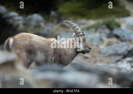 Young alpine ibex (Capra Ibex) in rocky region, Gran Paradiso national park, Italy - Stock Photo
