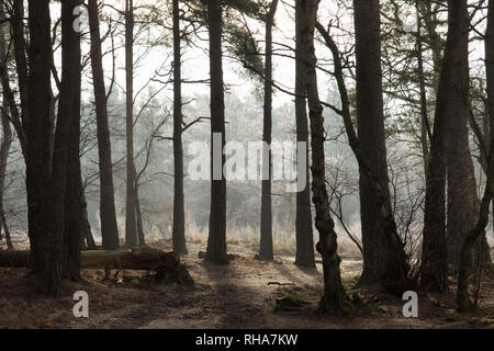 Iping Common, Sussex, UK,  frosty morning, Scots Pine,  Pinus sylvestris, trunks, January. light and shade, misty morning, - Stock Photo