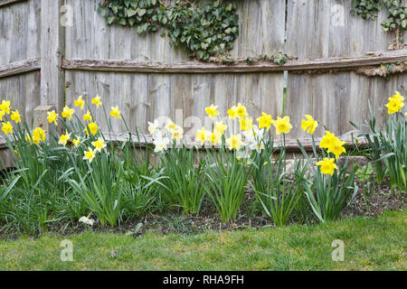 Daffodils in bloom in a garden in England, UK - Stock Photo