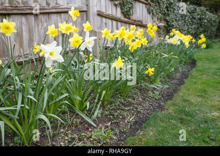Yellow and white daffodils in a garden flowerbed in England, UK - Stock Photo