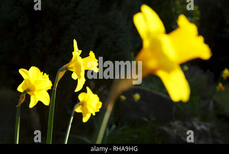 Daffodils, narcissus closeup growing in an English garden - Stock Photo
