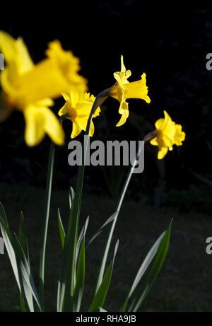Daffodil bulbs in bloom in an English garden, UK - Stock Photo