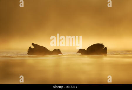 Silhouette of two coot birds (Fulica atra) in water on a golden misty morning. - Stock Photo