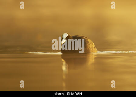 Silhouette of a coot (Fulica atra) in water on a golden misty morning. - Stock Photo