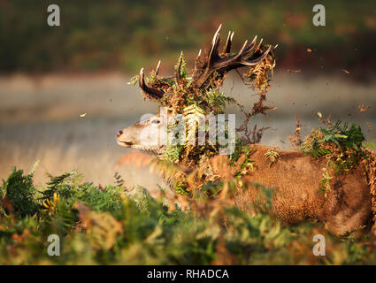 Close-up of red deer stag with vegetation on antlers during rutting season in autumn, UK. - Stock Photo