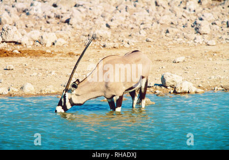 Oryxantilope (Oryx) im Etosha NP in Namibia - Stock Photo