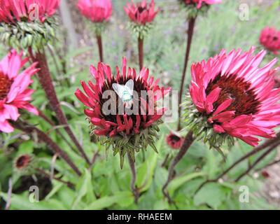 Purpur-Sonnenhut (Echinacea purpurea), Knospe mit Goldfliege (Schmeissfliege, Lucilia sericata) - Stock Photo