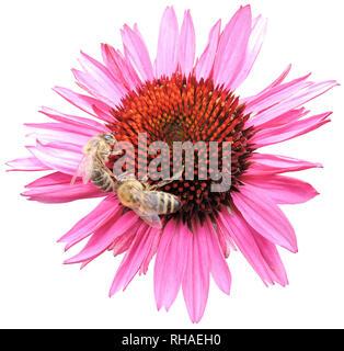 Purpur-Sonnenhut (Echinacea purpurea), Knospe mit Biene (Honigbiene, Apis mellifera) - Stock Photo