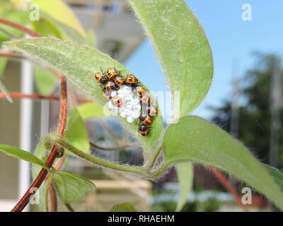 Nachwuchs einer Baumwanze (höchstwahrscheinlich marmorierte Baumwanze/Halyomorpha halys) auf Blattrückseite einer Clematis - Stock Photo