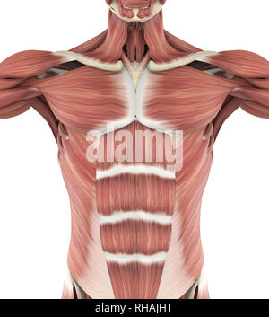 Upper Anterior Muscles Anatomy - Stock Photo
