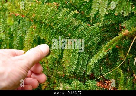 New Zealand ferns and moss rainforest - Stock Photo