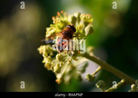 Eine Biene sitzt auf einer Blüte und sammelt Nektar für den Honig - Stock Photo