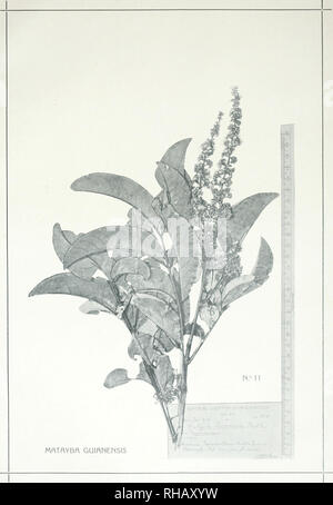 . Botanica. Relatorio apresentado ao Snr. coronel de engenharia Candido Marianno da Silva Rondon, chefe da Commissô Brasileira. Plants -- Brazil. EXPEDIÇÃO SCIENTIFICfl ROOSEVELT-RONDON. Cia. Lithographka Hartmann-Reichenbach. Please note that these images are extracted from scanned page images that may have been digitally enhanced for readability - coloration and appearance of these illustrations may not perfectly resemble the original work.. Hoehne, F. C. (Frederico Carlos), 1882-; Roosevelt-Rondon Scientific Expedition (1913-1914). Rio de Janeiro - Stock Photo