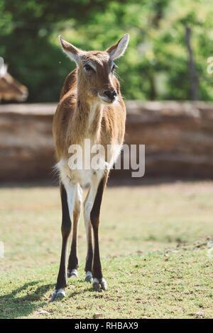 Lechwe Antelope in park - Stock Photo