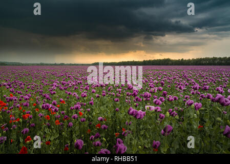 Opium poppy field with overcast dramatic sky - Stock Photo