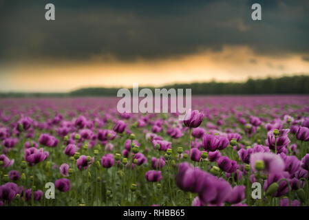 Opium poppy field with overcast dramatic sky - Stock Photo