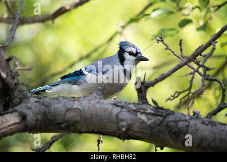 A blue jay sitting on the branch of a tree in summer. - Stock Photo