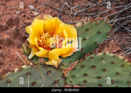 Yellow prickly pear cactus flower close up with bee - Stock Photo