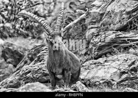 Wonderful portrait of Alpine ibex in the Alps (Capra Ibex), black and white photos - Stock Photo