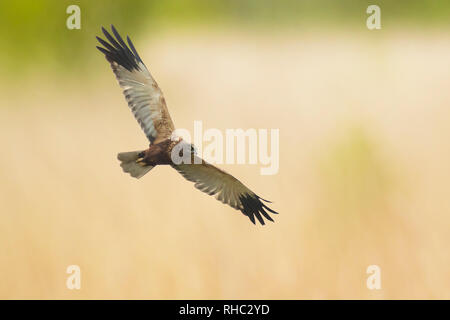 Male Western marsh harrier, Circus aeruginosus, bird of prey in flight searching and hunting above a field - Stock Photo