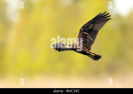 Female Western marsh harrier, Circus aeruginosus, bird of prey in flight searching and hunting above a field - Stock Photo
