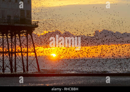 Blackpool, Lancashire. 1st Feb, 2019. The last waltz before bed, a swarm of tens of thousands of starlings roosting under Blackpools Victorian north pier. These amazing birds put on a stunning flight display at one of only a handful of their favourite sites throughout the UK. On windy days, the huge flocks of mumurating starlings whose numbers are estimated at 60,000 plus take to resting momentarily on the beach at low tide. Credit: MediaWorld Images/Alamy Live News - Stock Photo