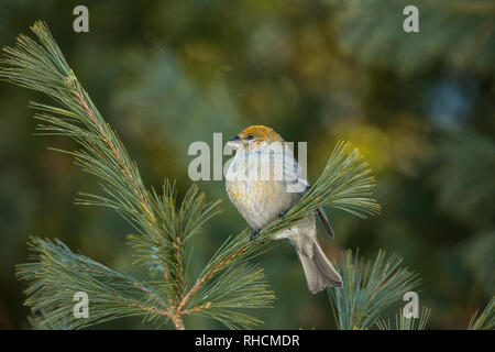 Female pine grosbeak perched in a white pine in northern Wisconsin. - Stock Photo