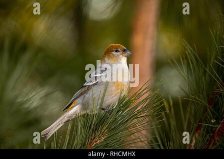 Female pine grosbeak perched in a northern white pine tree. - Stock Photo