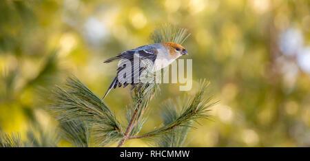 Female pine grosbeak in northern Wisconsin. - Stock Photo