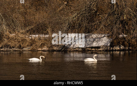 Pair of trumpeter swans on the Chippewa River in northern Wisconsin. - Stock Photo