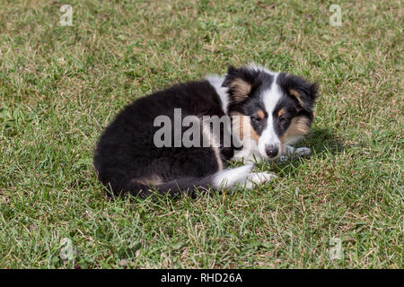 Shetland sheepdog puppy is lying in the green grass. Three month old. Pet animals. - Stock Photo