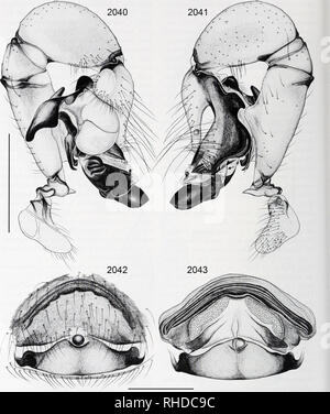 . Bonner zoologische Monographien. Zoology. BONNER ZOOLOGISCHE MONOGRAPHIEN Nr. 58/2011. FIG. 2040-2043. Pholcus steinen. 2040, 2041. Left male palp, prolateral and retrolateral views (arrow points at retrolateral membranous process of procursus). 2042, 2043. Cleared female genitalia, ventral and dorsal views. Scale lines: 1.0 (2040, 2041), 0.5 (2042, 2043). 426. Please note that these images are extracted from scanned page images that may have been digitally enhanced for readability - coloration and appearance of these illustrations may not perfectly resemble the original work.. Bonn, Zoologi - Stock Photo
