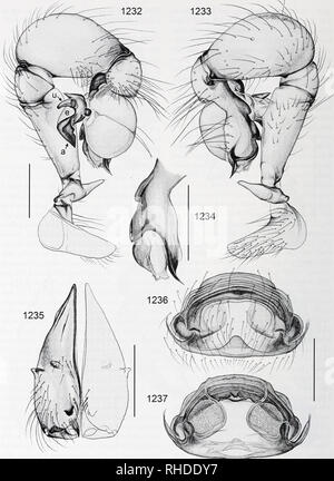 . Bonner zoologische Monographien. Zoology. BONNER ZOOLOGISCHE MONOGRAPHIEN Nr. 58/2011. FIG. 1232-1237. Pholcus lupanga. 1232, 1233. Left male palp, prolateral and retrolateral views. 1234. Left procursus, prolateral view. 1235. Male chelicerae, frontal view. 1236, 1237. Cleared female genitalia, ventral and dorsal views. Scale lines: 0.5. 258. Please note that these images are extracted from scanned page images that may have been digitally enhanced for readability - coloration and appearance of these illustrations may not perfectly resemble the original work.. Bonn, Zoologisches Forschungsin - Stock Photo