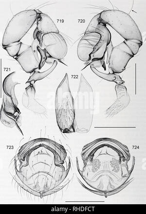 . Bonner zoologische Monographien. Zoology. BONNER ZOOLOGISCHE MONOGRAPHIEN Nr. 58/2011. FIG. 719-724. Pholcus kerinci. 719, 720. Left male palp, prolateral and retrolateral views (arrow points at dorsal trichobothrium). 721. Left procursus, prolareral view. 722. Male chelicerae, frontal view. 723, 724. Cleared female genitalia, ventral and dorsal views. Scale lines: 0.3. 168. Please note that these images are extracted from scanned page images that may have been digitally enhanced for readability - coloration and appearance of these illustrations may not perfectly resemble the original work.. - Stock Photo