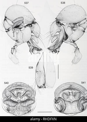 . Bonner zoologische Monographien. Zoology. BONNER ZOOLOGISCHE MONOGRAPHIEN Nr. 58/2011. FIG. 537-541. Pholcus sabah. 537, 538. Left male palp, prolateral and retrolateral views. 539. Male chel erae, frontal view. 540, 541. Cleared female genitalia, ventral and dorsal views. Scale lines: 0.3. 132. Please note that these images are extracted from scanned page images that may have been digitally enhanced for readability - coloration and appearance of these illustrations may not perfectly resemble the original work.. Bonn, Zoologisches Forschungsinstitut und Museum Alexander Koenig - Stock Photo