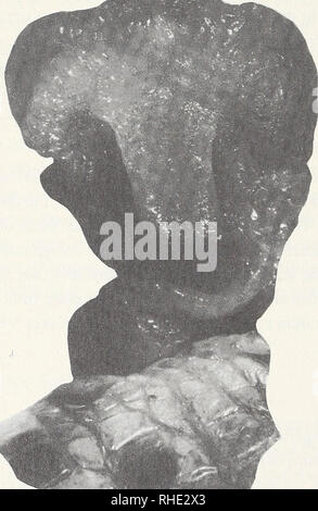 . Bonner zoologische Monographien. Zoology. 94 Sulcus gerade, von stark entwickelter innerer Lippe begleitet, die am Apex in einem Halb- kreis mit basiswärts gerichteter Endspitze ausläuft. Der Sulcus erscheint nicht median, son- dern etwas nach seitlich verschoben. Nur auf einer Seite seiner Mündung schließt sich ein faltiger, nach sulcal umgeknickter Lobus an, wodurch das ganze Organ asymmetrisch wirkt. Da die Abbildung bei Dowling & Duellman (1978: fig. 85.2.) diese Besonderheiten nicht zeigt, andererseits das hier benutzte Präparat nicht in optimalem Zustand ist, sollen die Un- terschi - Stock Photo