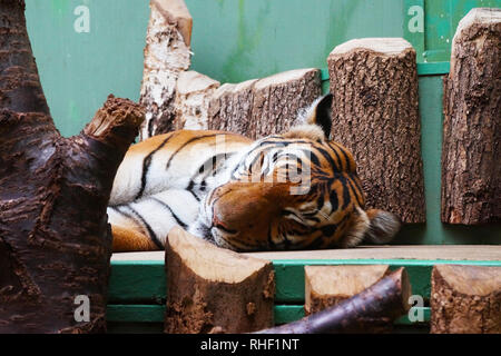 The sleeping tiger on trees. - Stock Photo