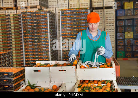 Female employee of fruit warehouse in colored uniform sticking labels on fresh ripe mandarins in crates - Stock Photo