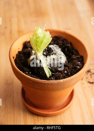 Lettuce scraps with roots replanted in a pot to produce a new lettuce. - Stock Photo