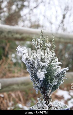 A tiny Christmas tree (everygreen fir) dusted with snow, frost and ice, outdoors with a wooden fence and woodland in the background - Stock Photo