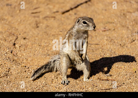 Standing gopher on the ground in the Namib desert, Namibia outdoor - Stock Photo