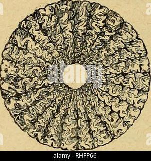 . Boletín del Museo Nacional de Chile. Natural history. 138 boletín del museo nacional daderos del período jurásico con tabiques plegados a los lados, i que alcanzaron su máximo desarrollo en el período cretáceo, decayendo en seguida hasta llegar a su completa estincion (Fig. 38). Ahora bien, si se estudian en un mismo Ammonite propia- mente dicholos tabiques que se forman a partir de la primera celda, se ve que los primeros son apenas ondulados i recuerdan los de los Gonialites primarios, después se hacen cada vez mas. Please note that these images are extracted from scanned page images that  - Stock Photo