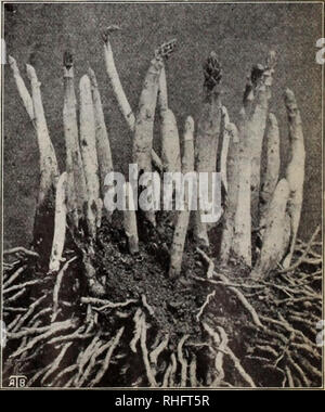 . Boddington's quality bulbs, seeds and plants / Arthur T. Boddington.. Nursery Catalogue. ESCULENT PLANTS, ROOTS AND HERBS Helianti. Boddington's Selected Sea Kale The wonderful new winter vegetable. The greatest addition to the vegetable kingdom for many years. A complete substitution in taste for fresh asparagus. â Ids half as much again as the potato. Description.âHelianti is a hybrid of the sunflower family. It attains a heiglit of lo feet or more, is very ornamental witli its deep green foliage and produces an abundance of bright yellow flowers. Its important economic use, however, is th - Stock Photo