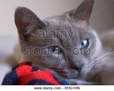Ragdoll Indoor Cat's Blue Eyes - Stock Photo