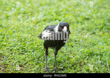 Australian Magpie wet after rain, Wollongbar, New South Wales, Australia - Stock Photo